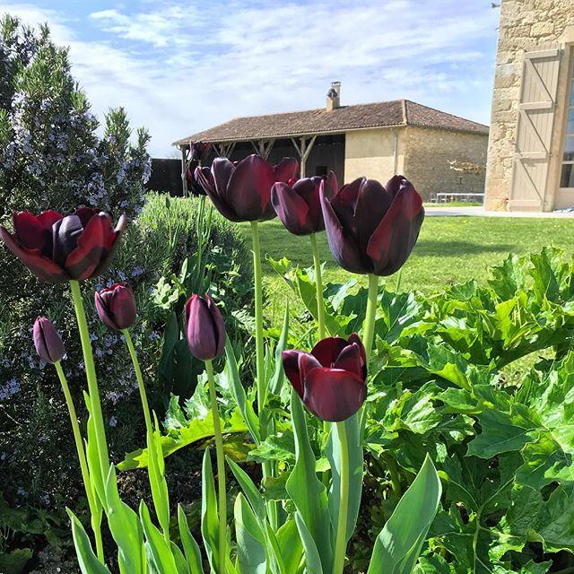 Chocolate tulips.