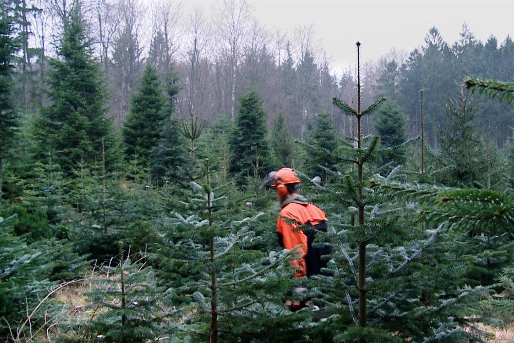 Store træer - 30 år gamle4- 10 meter højeÆdelgran (Normannsgran)Frisk fældede fra egen skov