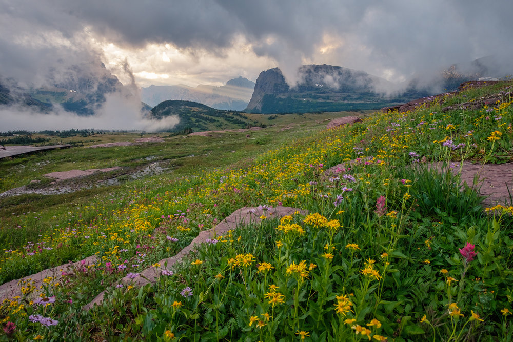 Flowers above Logan Pass, Glacier National Park, MT.