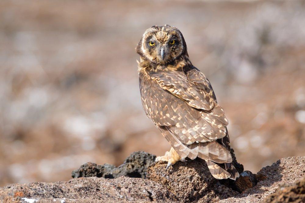 A Short-eared owl in Bahia Darwin, Galapagos.