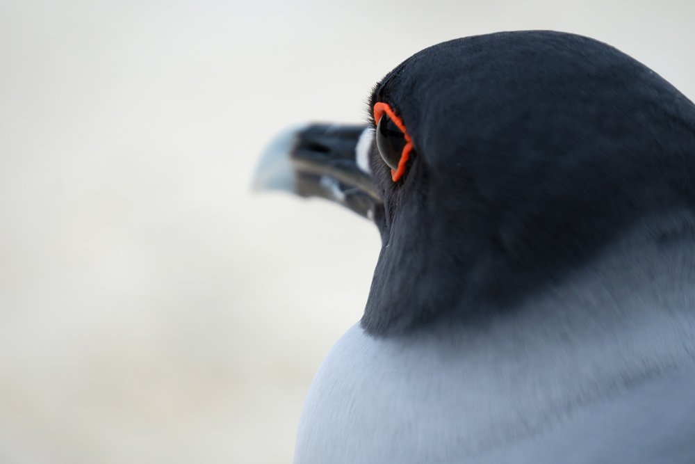 A close-up of the eye of a Swallow-tailed Gull in Bahia Darwin, Galapagos.