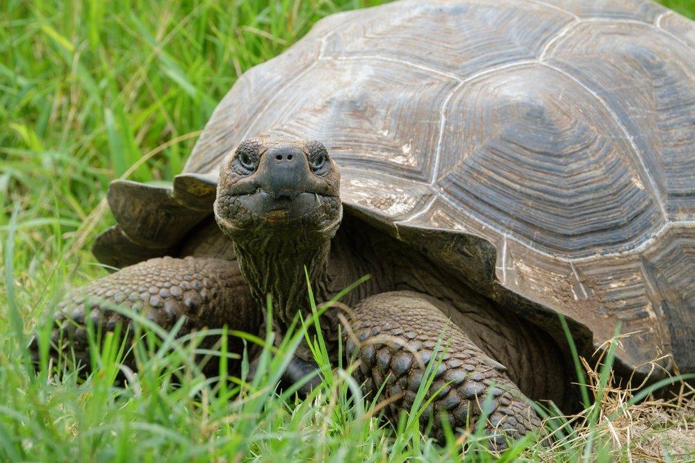 A Galapagos Giant Tortoise on Isla Santa Cruz.