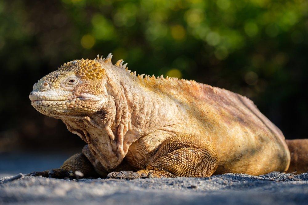A Galapagos Land Iguana on Isla Isabela.