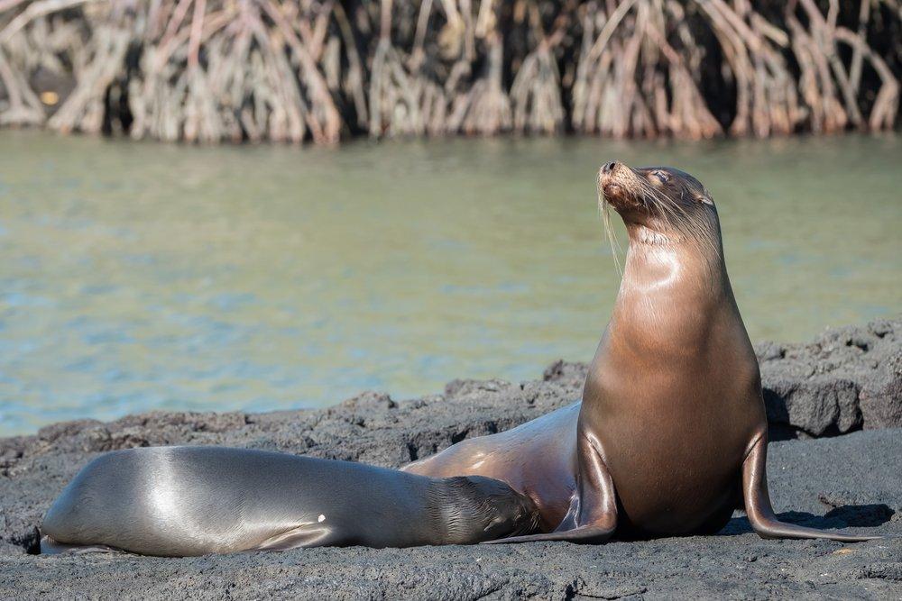 Galapagos Sea Lions at Punto Espinoza, on Isla Fernandina.