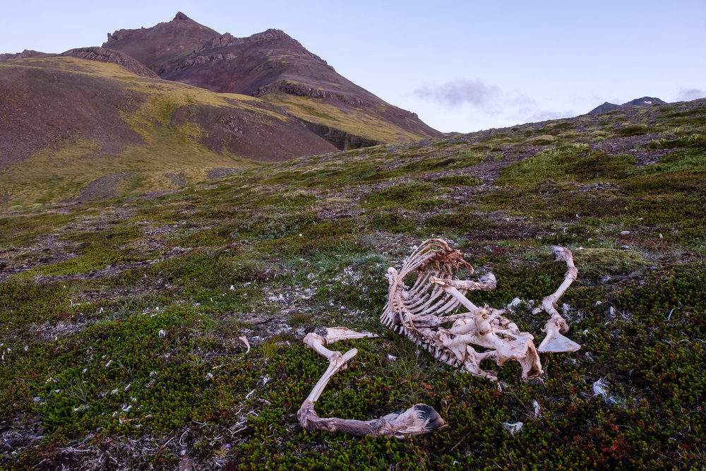 A goat skeleton near where Becca and I made dinner, on the Ring Road south of Laekjavik