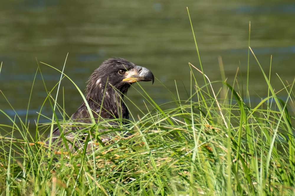 A Golden Eagle on the Madison River