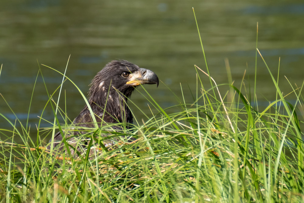 A Golden Eagle on the Madison River, Yellowstone NP