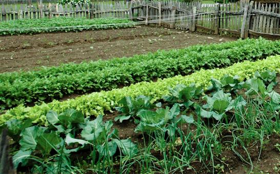 A Veritable Vegetable Garden