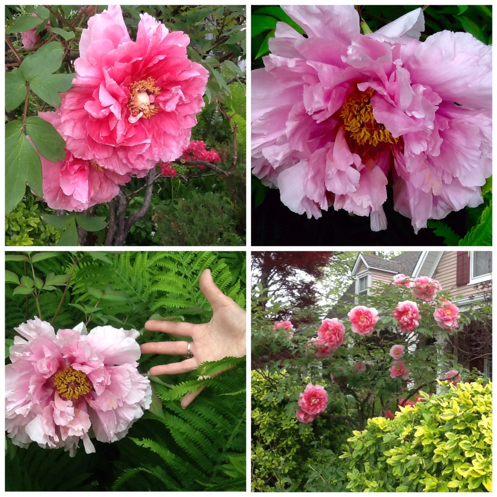 Angie's amazing Japanese tree peonies! - one pictured with a hand to show just how enormous they are!