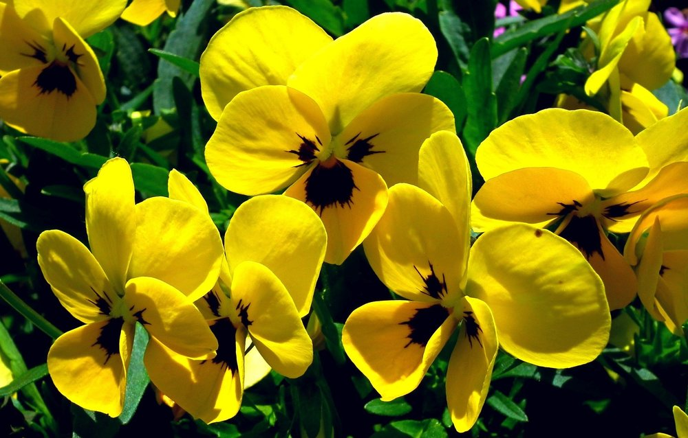 Pansies, Reston Farm Market