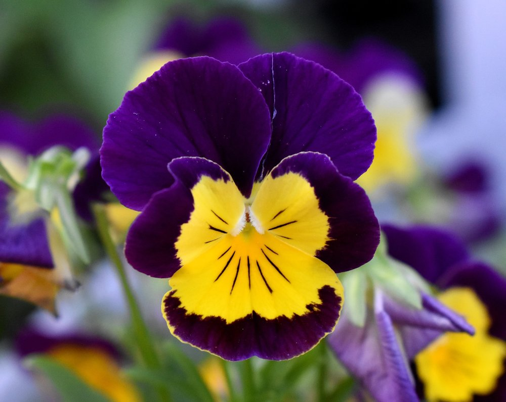 Pansies at the Reston Farm Market, VA