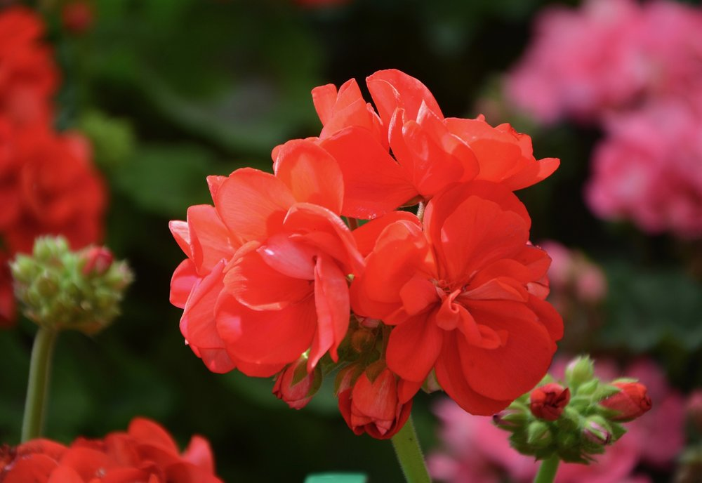 geranium-flower-reston-farm-market-va.jpg