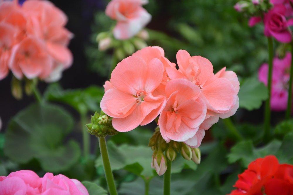 geranium-reston-farm-market-va.jpg