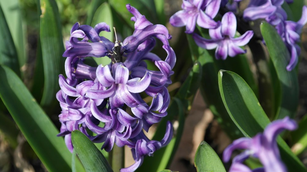 hyacinth-purple-reston-farm-market-va.jpg