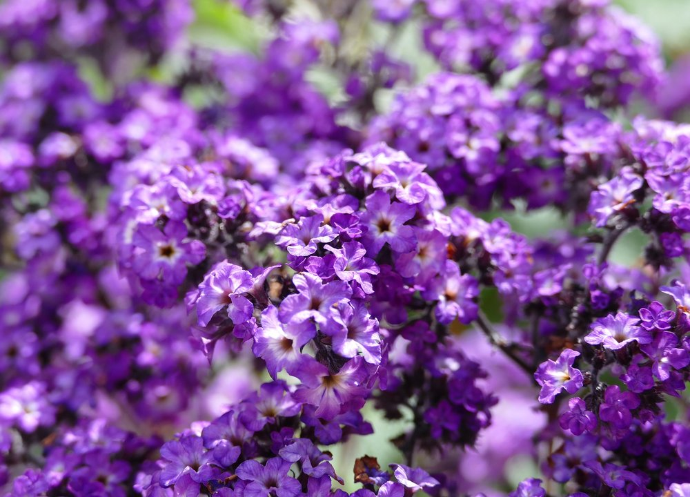 heliotrope-flower-reston-farm-market-va.jpg