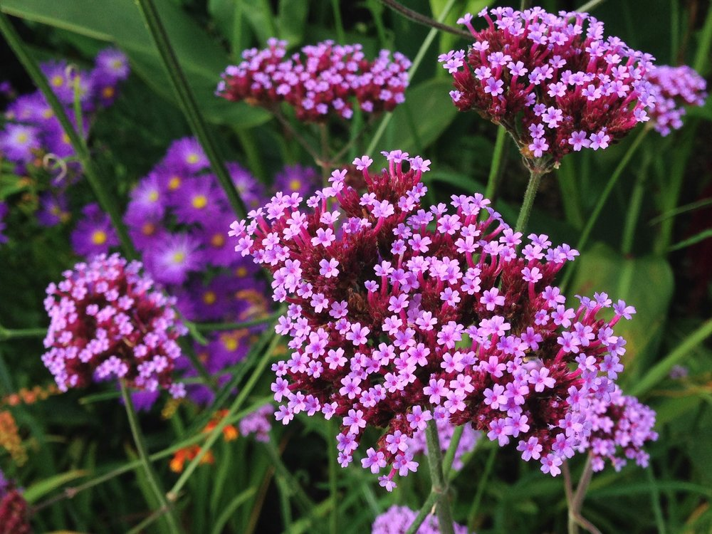 verbena-purple-reston-farm-market-va.jpg