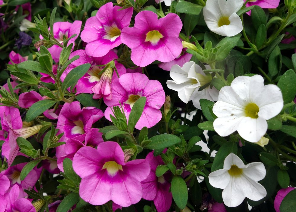 petunia-gardening-reston-farm-market-va.jpg