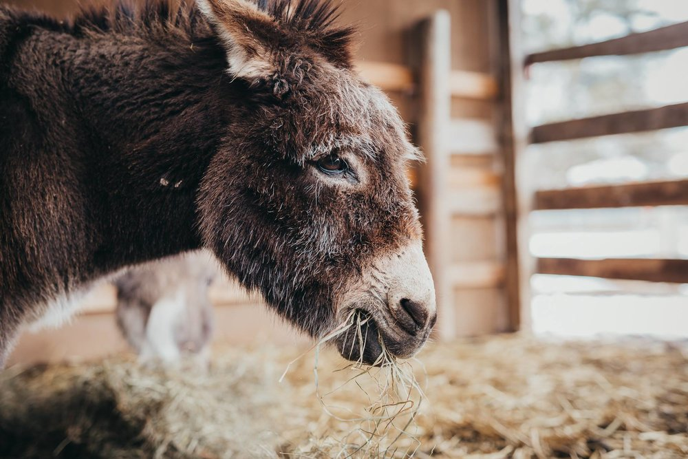 """Portrait by Jody Anne  """"Does a mini donkey portrait count?? This is our 17 year old sweetheart, Belle. She heard about the portrait theme & really wanted to be included."""""""