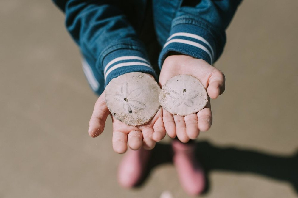 "New Beginnings by Steph Pate   ""This was so exciting for us! It was her first sand dollar! <3 The sand dollar is a species of flattened, burrowing sea urchins. Once it is dead, the sand dollar leaves behind a white skeleton called a test. """