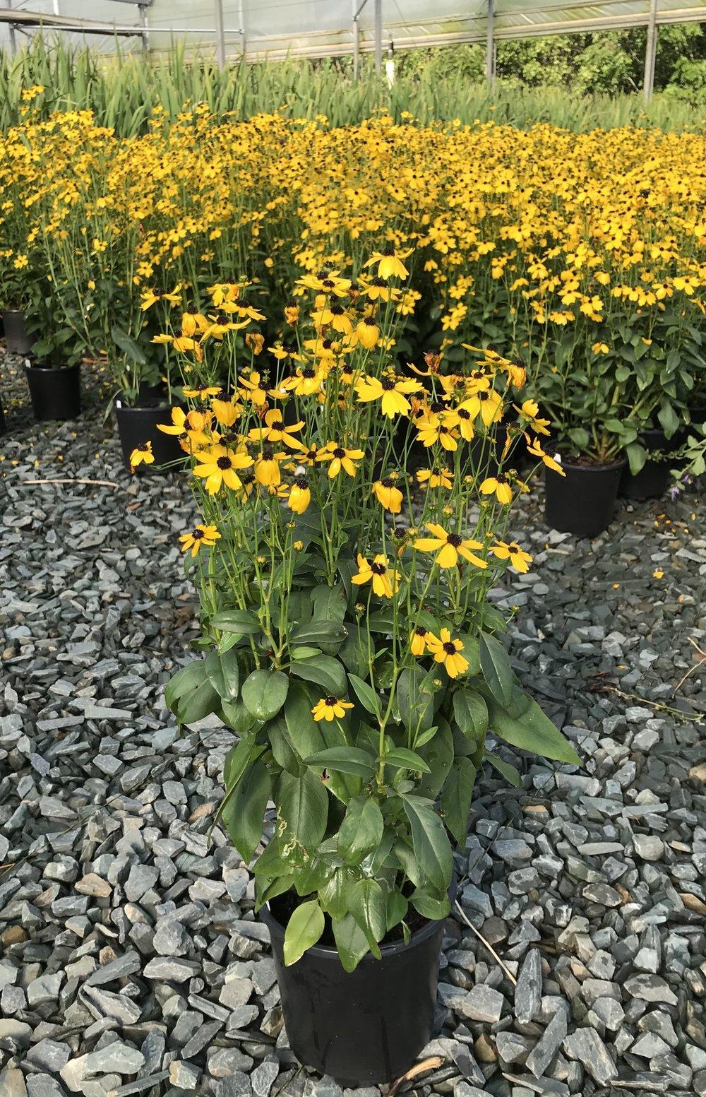 Coreopsis palustris 'Summer Sunshine' 1g - Overstock