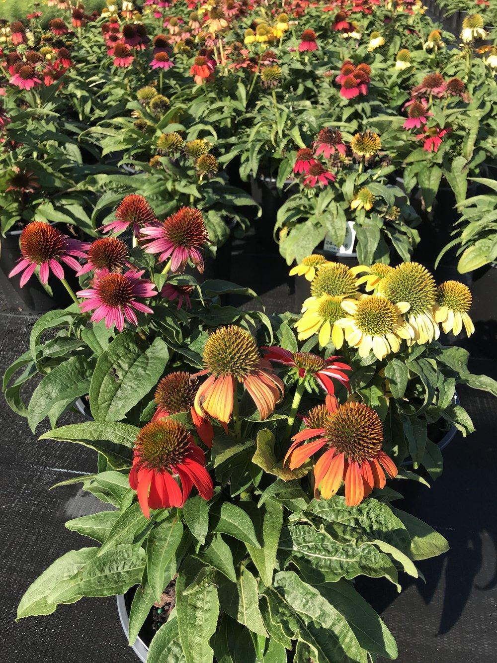 Echinacea hybrida 'Cheyenne Spirit' 1g