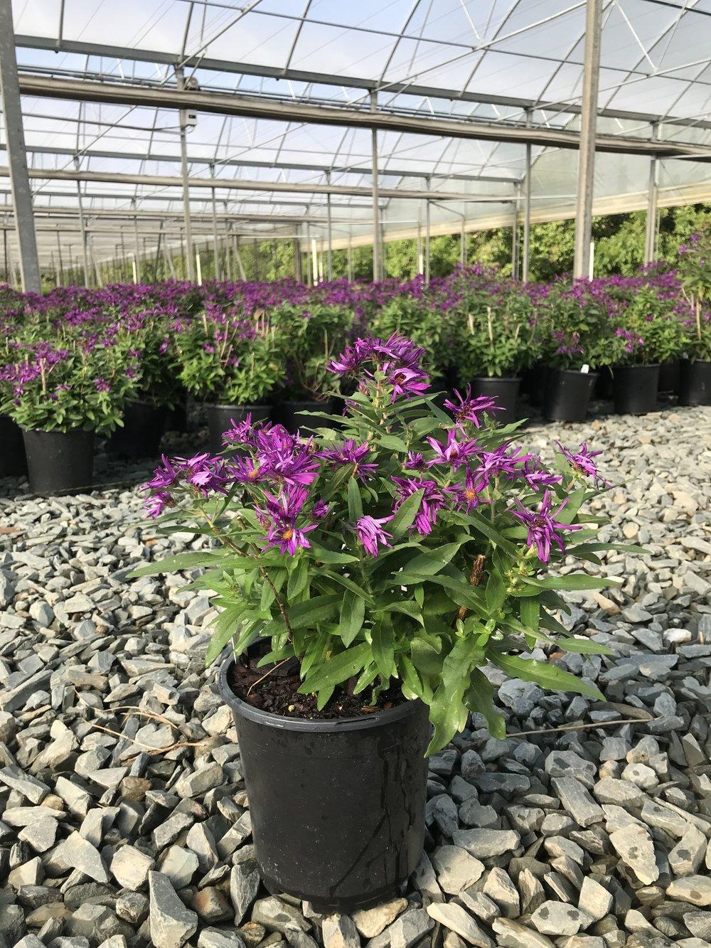 Aster novae-angliae 'Purple Dome' 1g - Overstock