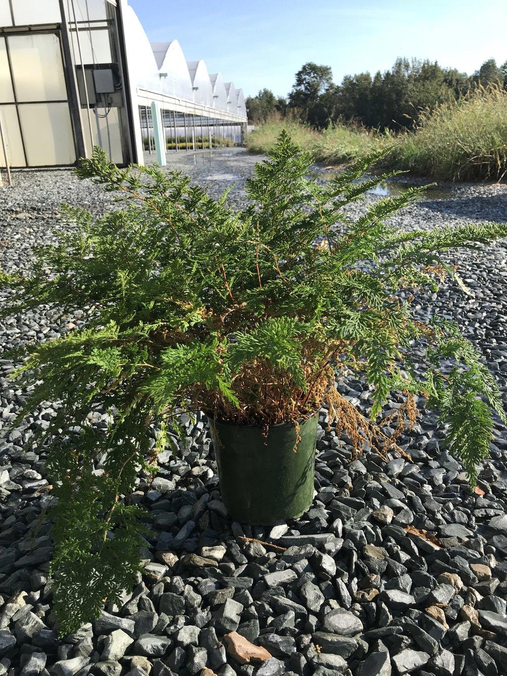 Selaginella braunii, Braun's Arborvitae Fern 1g - Overstock
