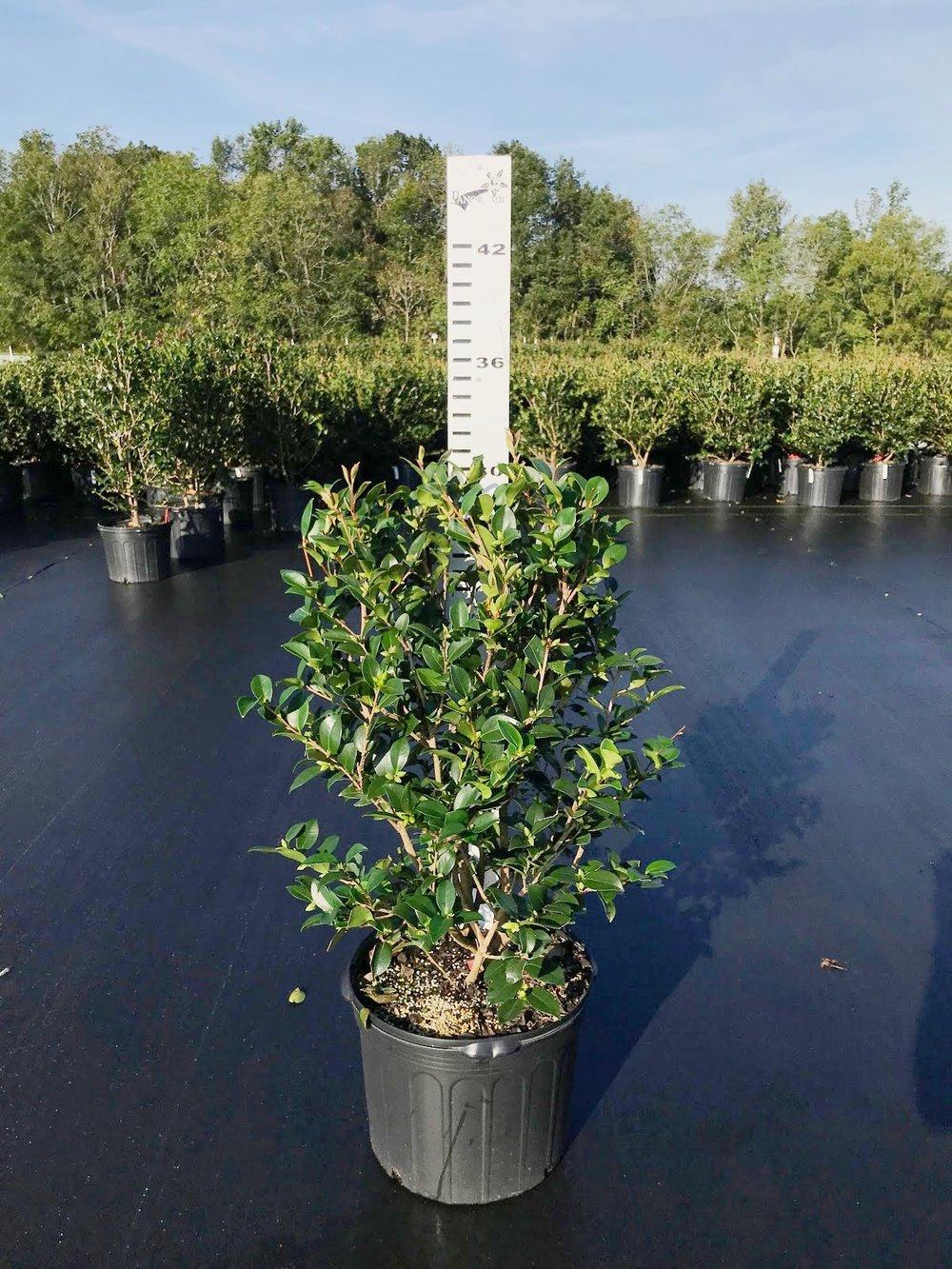 Camellia sasanqua 'Red Bird' 7g