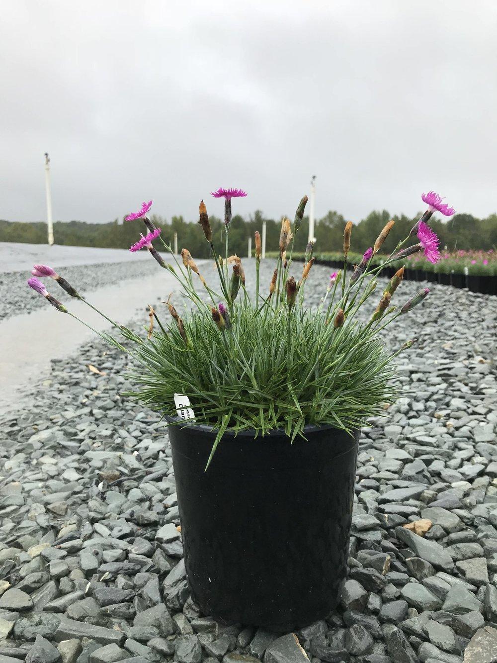Dianthus gratianopolitanus 'Firewitch' 1g