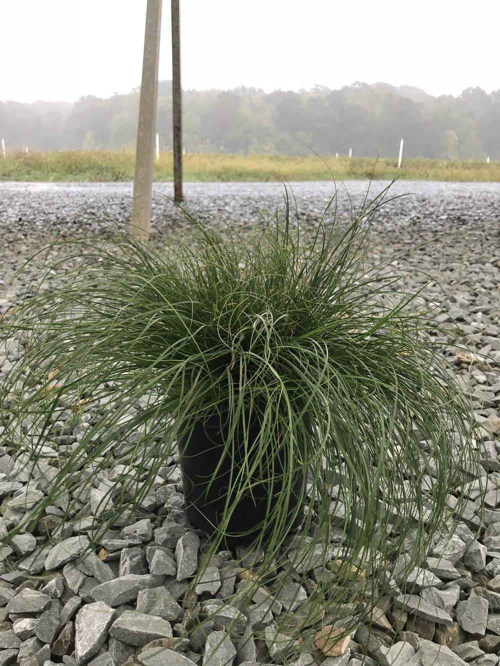 Carex texensis, Texas Sedge 1g
