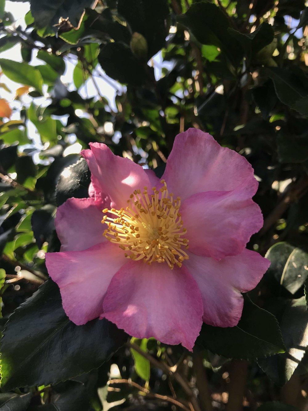 Camellia sasanqua 'Cleopatra' bloom