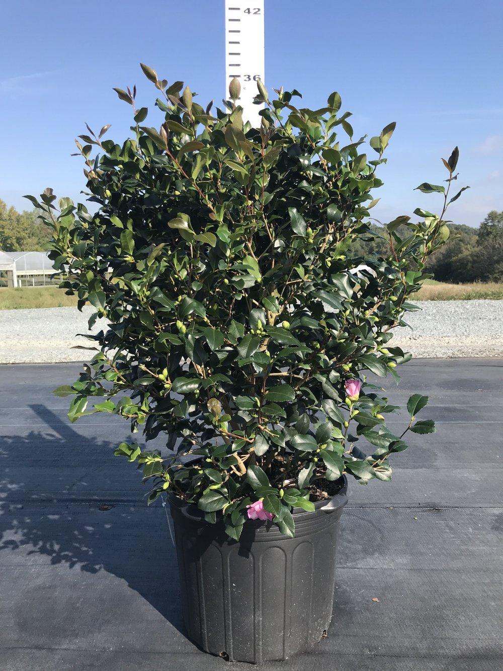 Camellia sasanqua 'Cleopatra' 7g