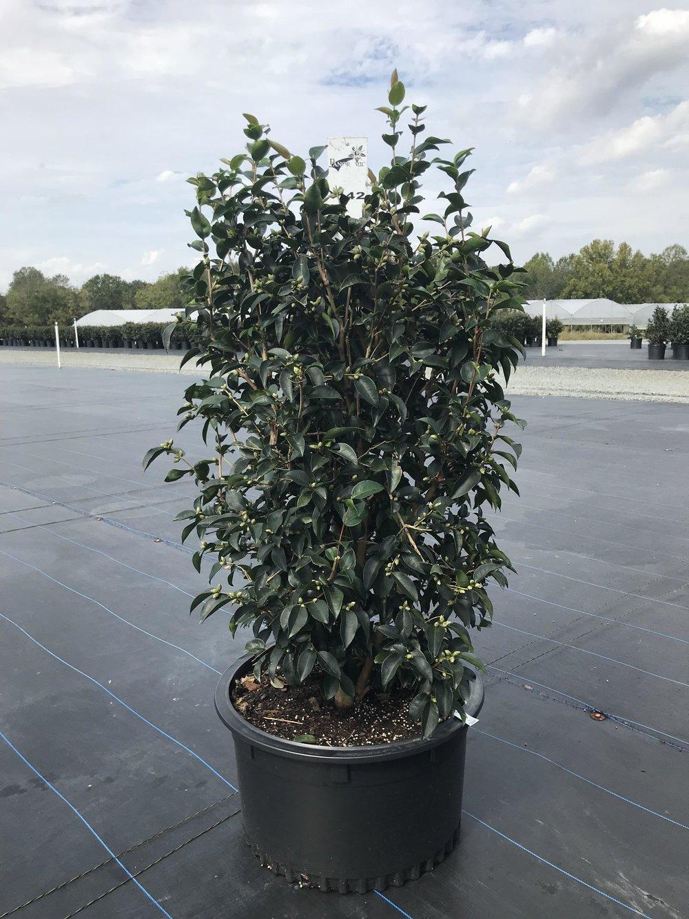 Camellia sasanqua 'Yoi Machi' 15g