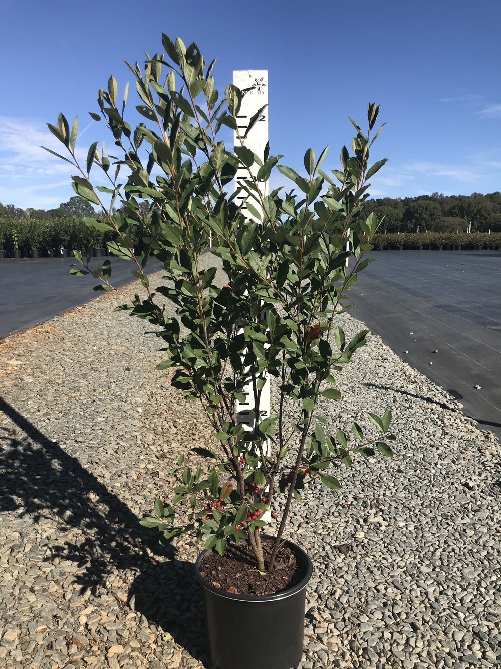 Aronia arbutifolia 'Brilliantissima', Brilliant Red Chokeberry 3g