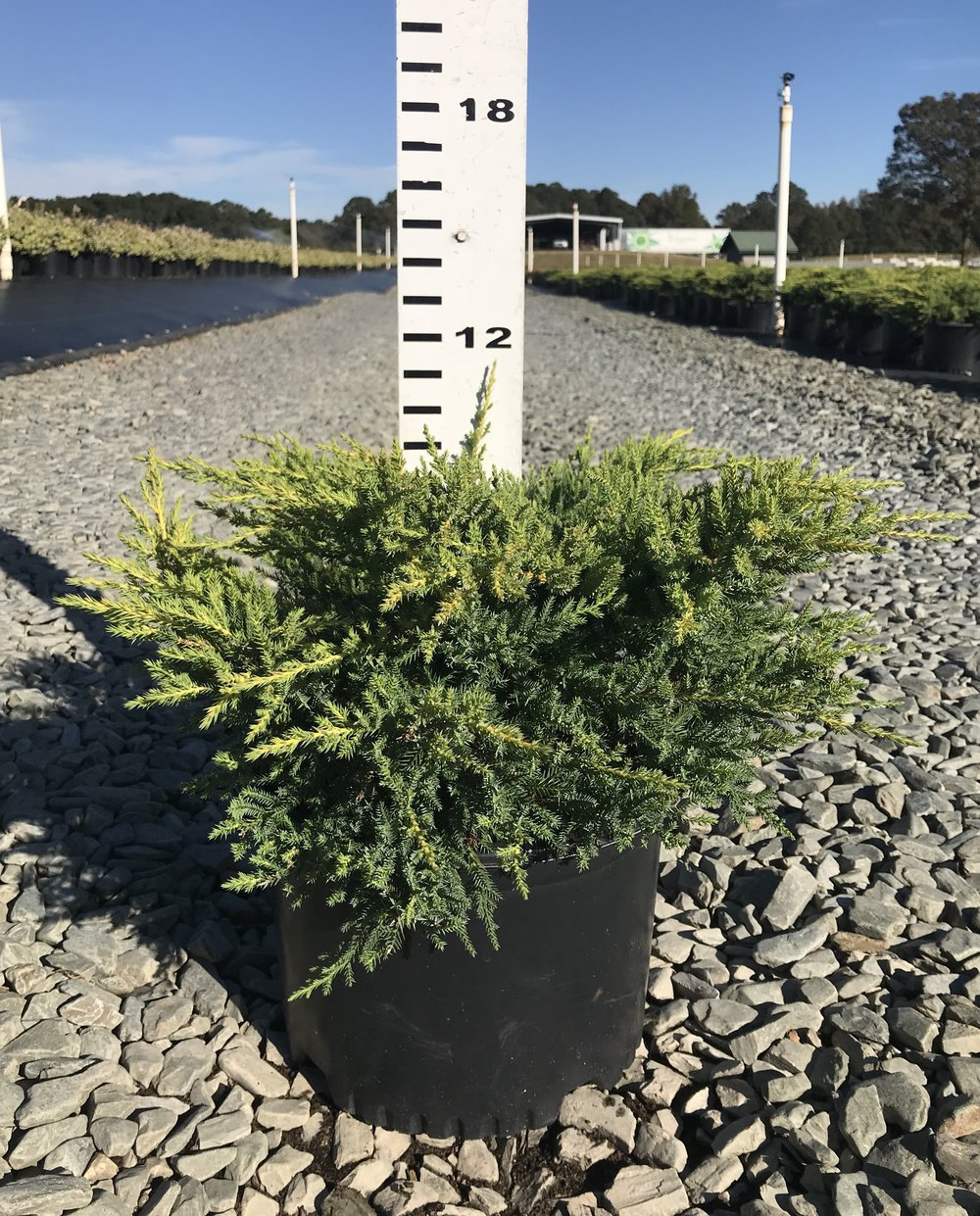 Juniperus x media 'Daub's Frosted' 3g