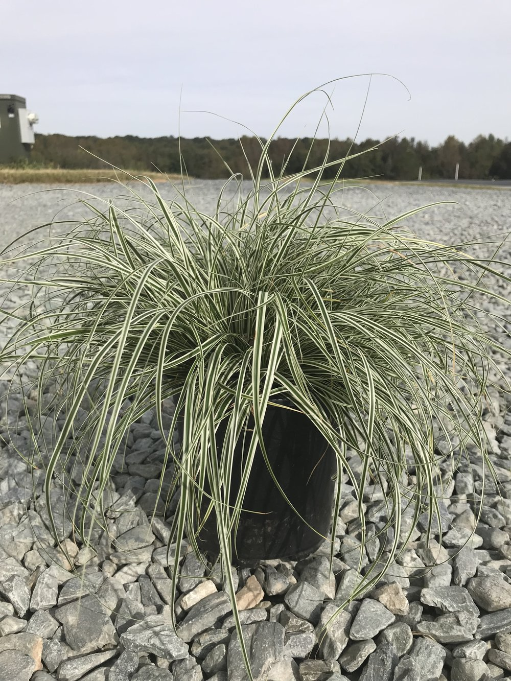 Carex oshimensis 'Everest' 1g
