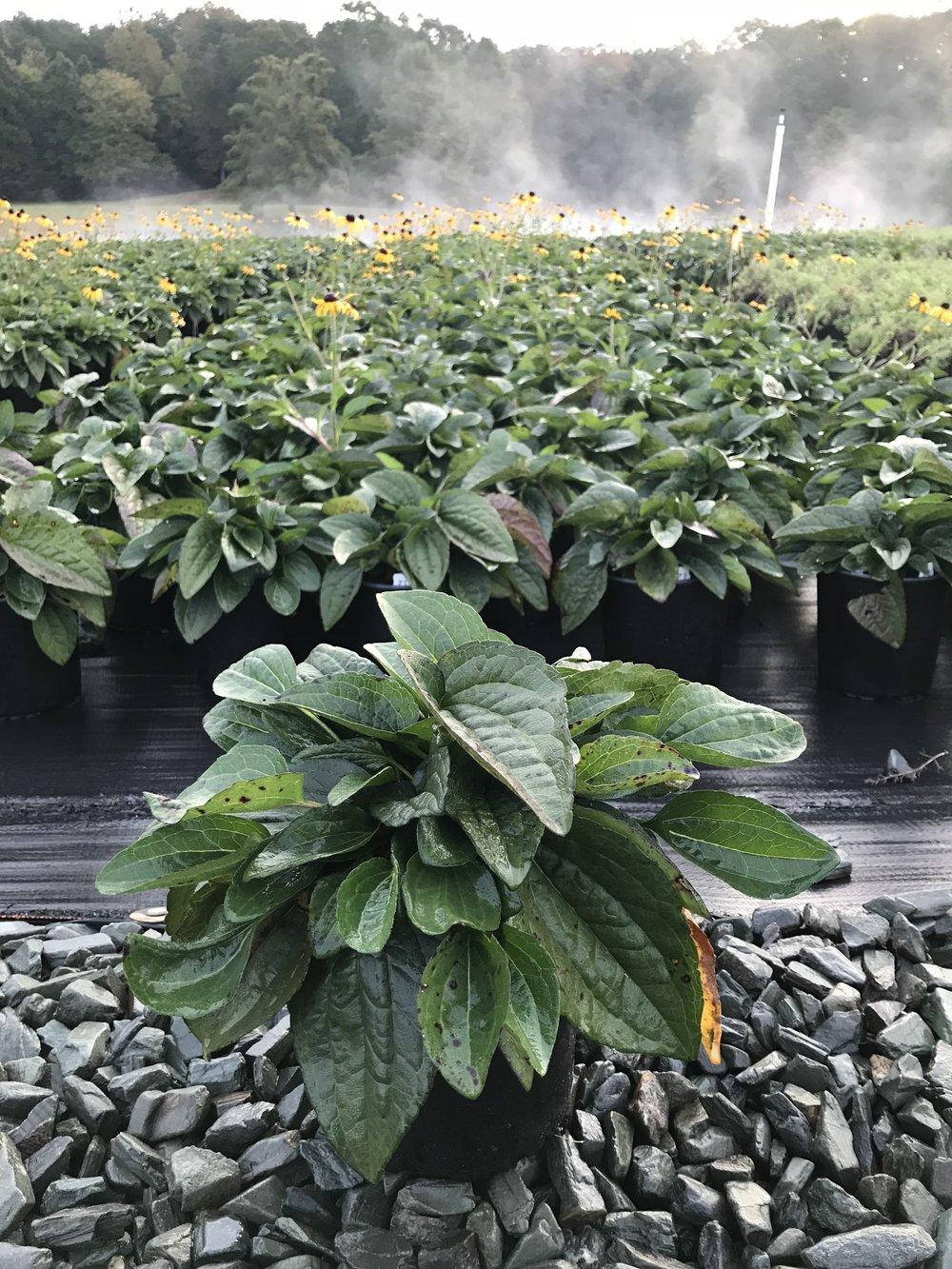 Rudbeckia fulgida 'Goldsturm' 1g