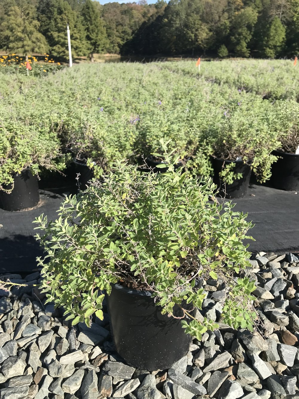 Nepeta x faassenii 'Junior Walker' 1g