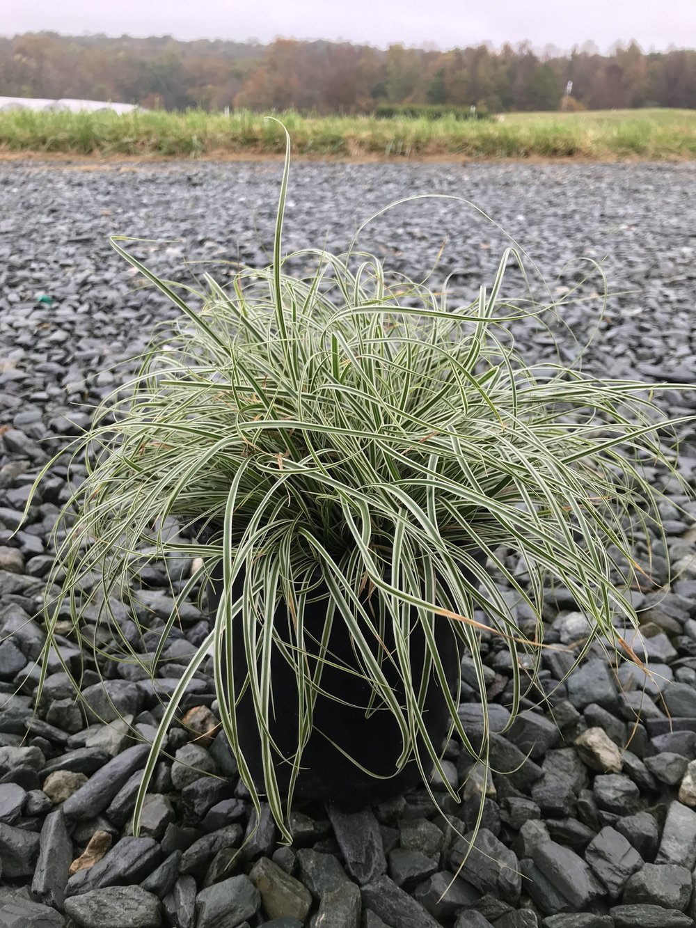 Carex oshimensis 'Everest' 1g