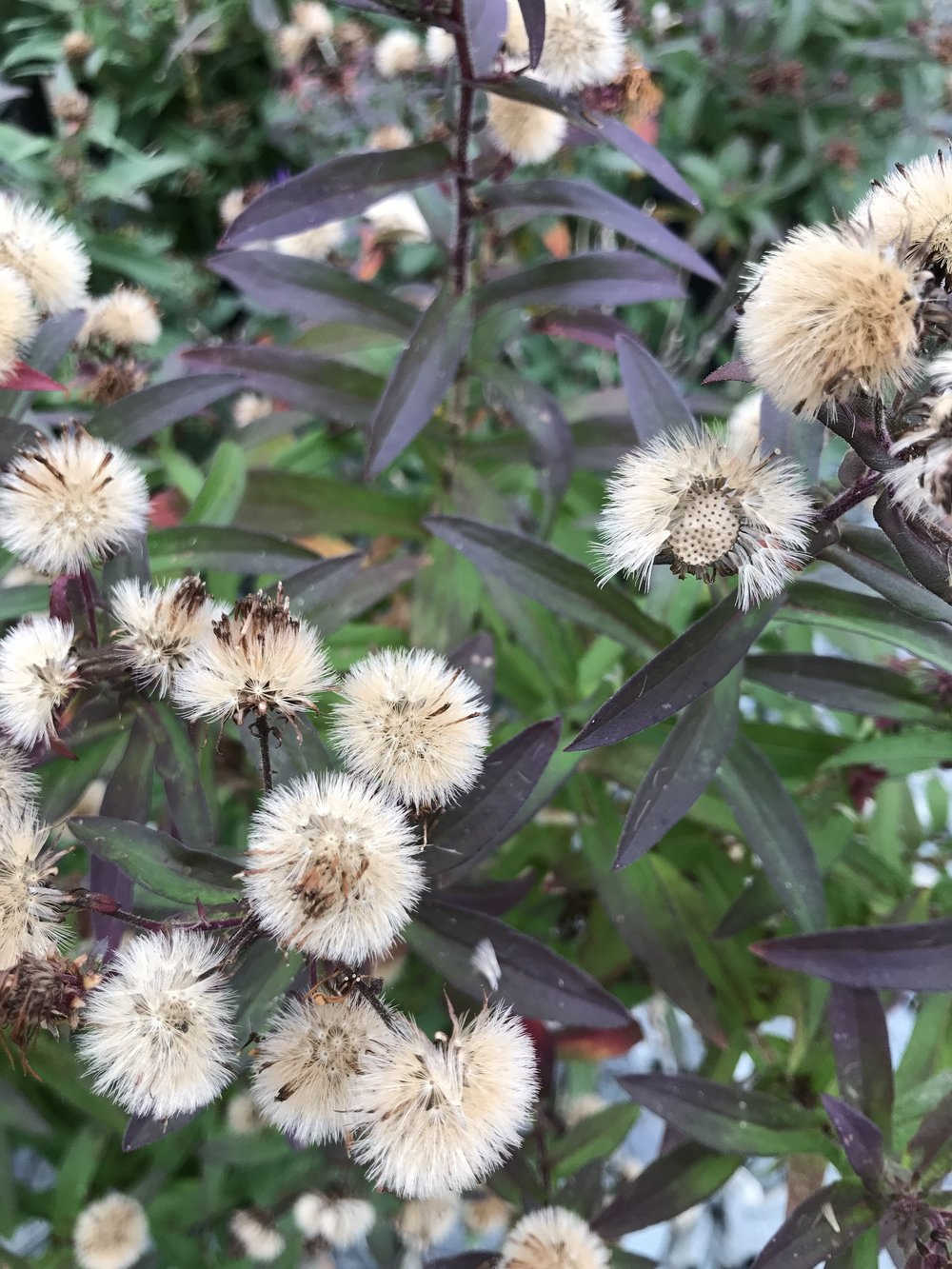 'Purple Dome' Seed Heads