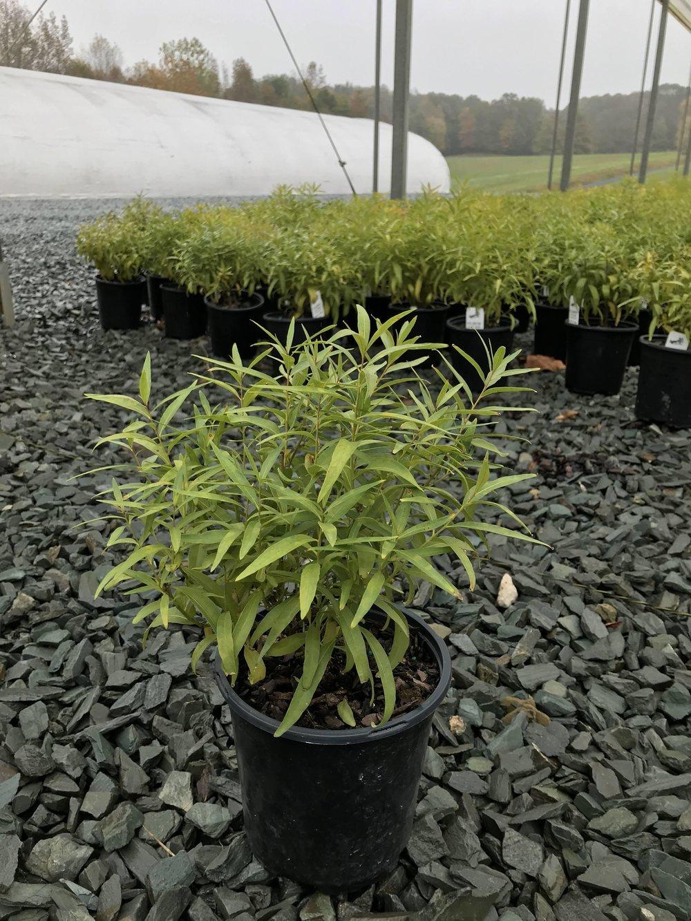 Amsonia tabernaemontana salicifolia, Eastern Bluestar 1g