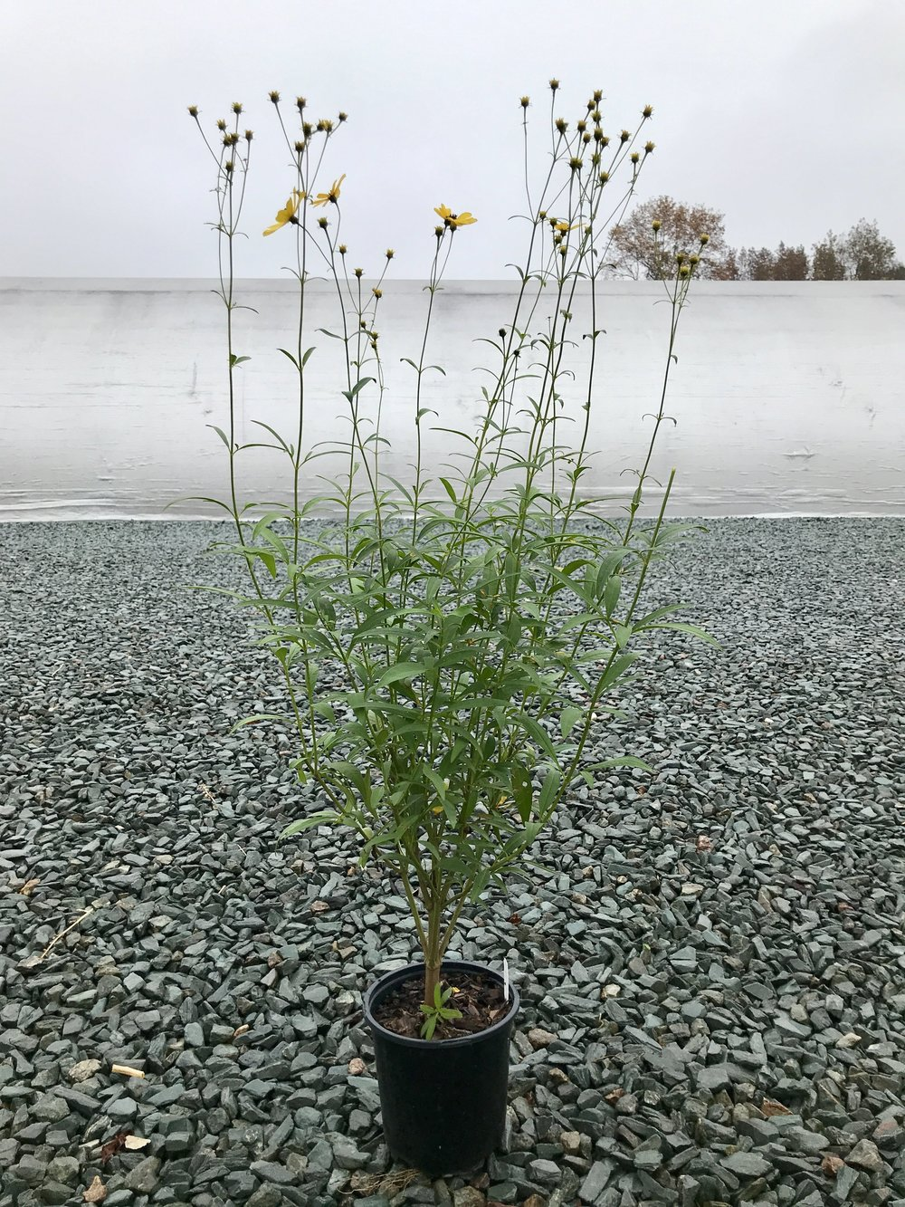 Coreopsis tripteris 'Gold Standard' 1g