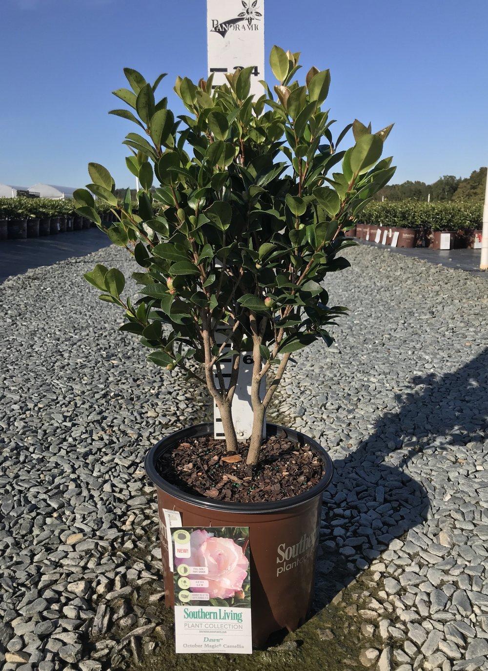Camellia sasanqua, October Magic Dawn' 3g