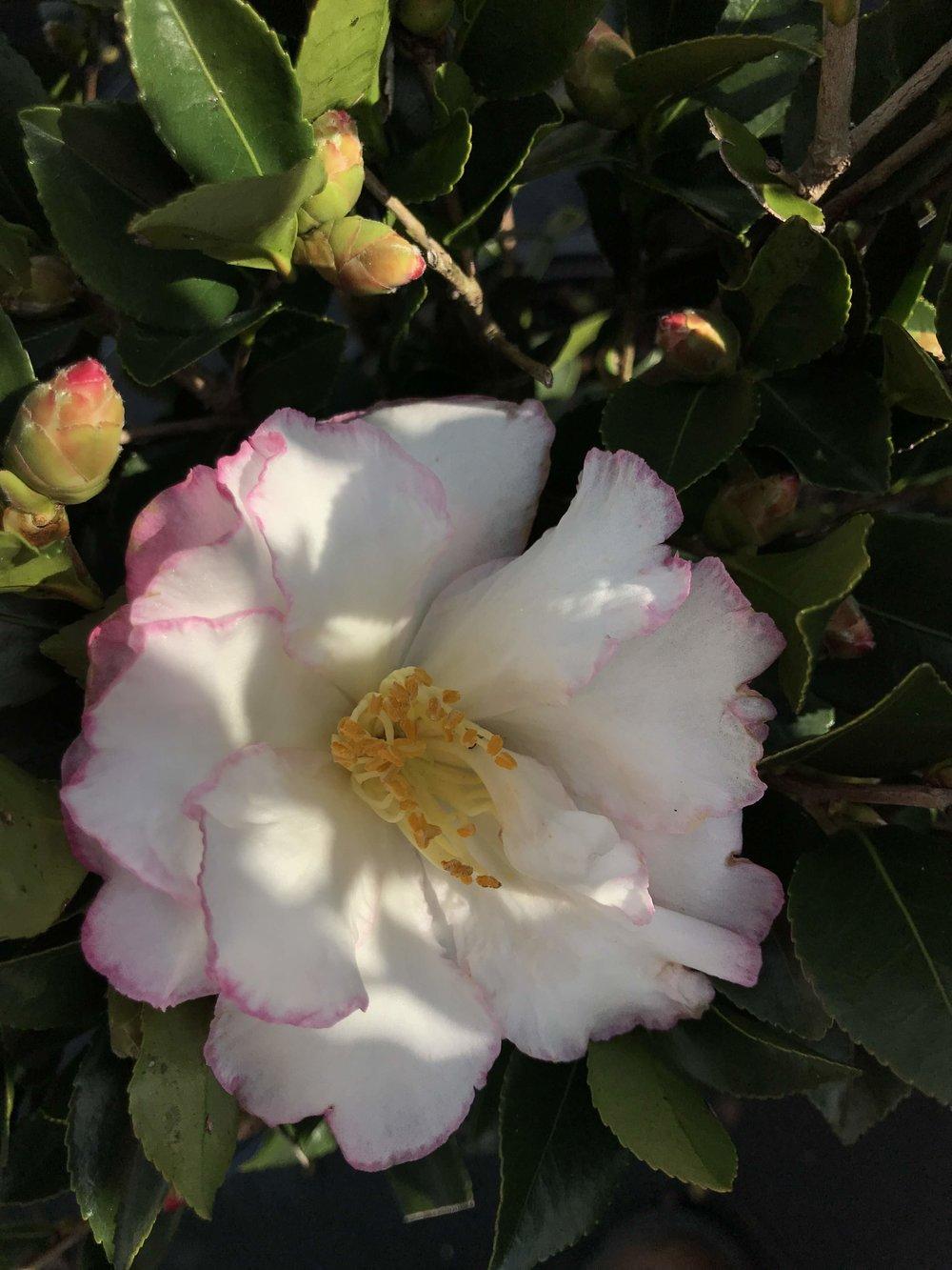 Camellia sasanqua, October Magic Inspiration Blooming!