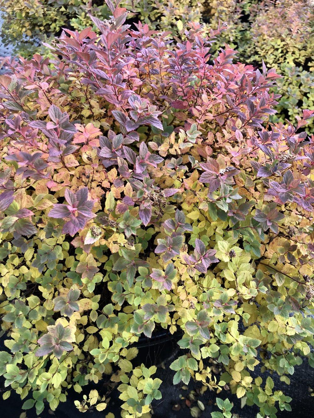 Spiraea japonica 'Little Princess' 3g
