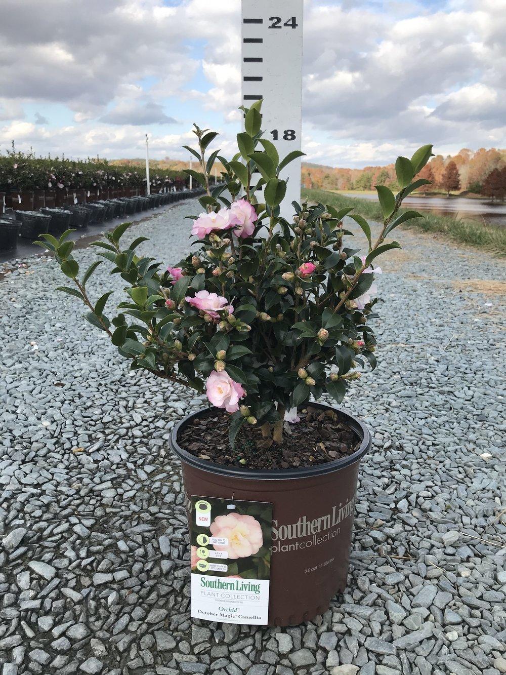 Camellia sasanqua, October Magic Orchid 3g