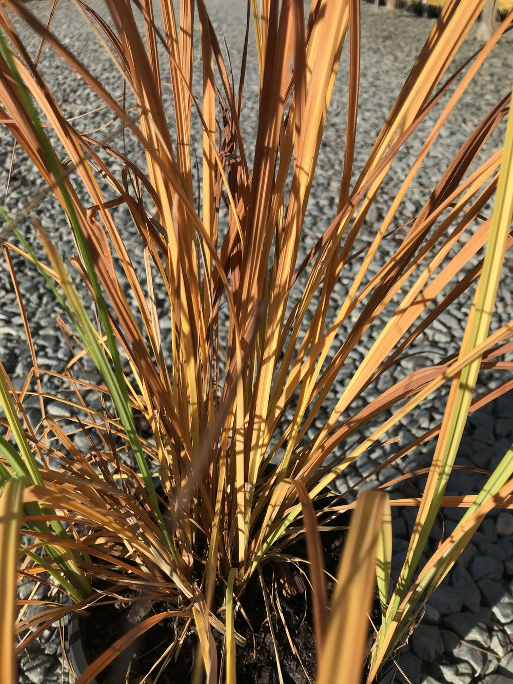 Carex stricta, Tussock Sedge 1g