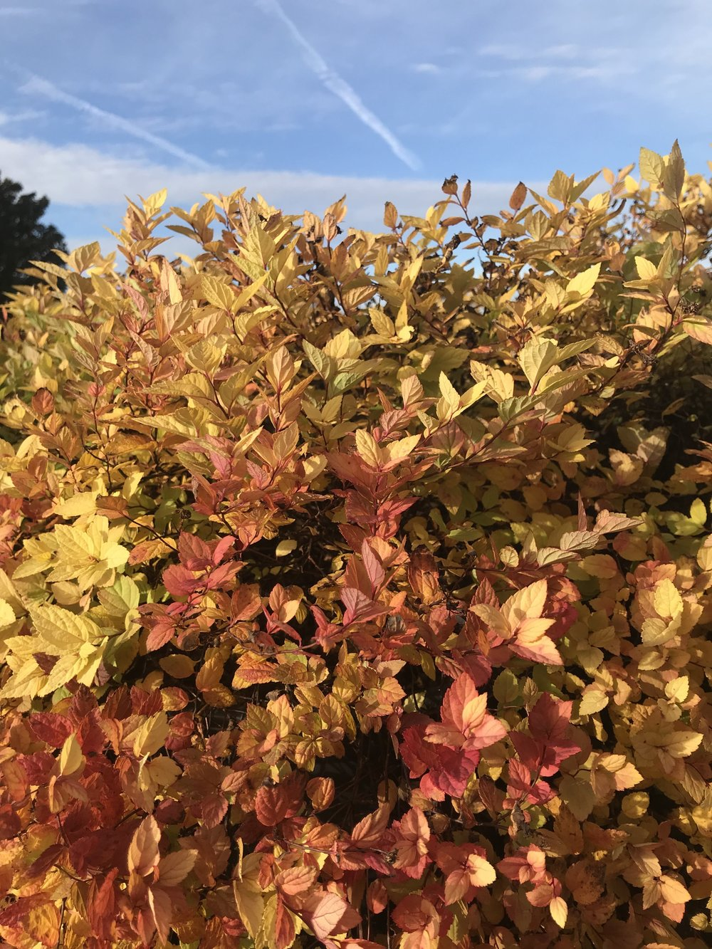 Spiraea japonica 'Gold Mound' 3g