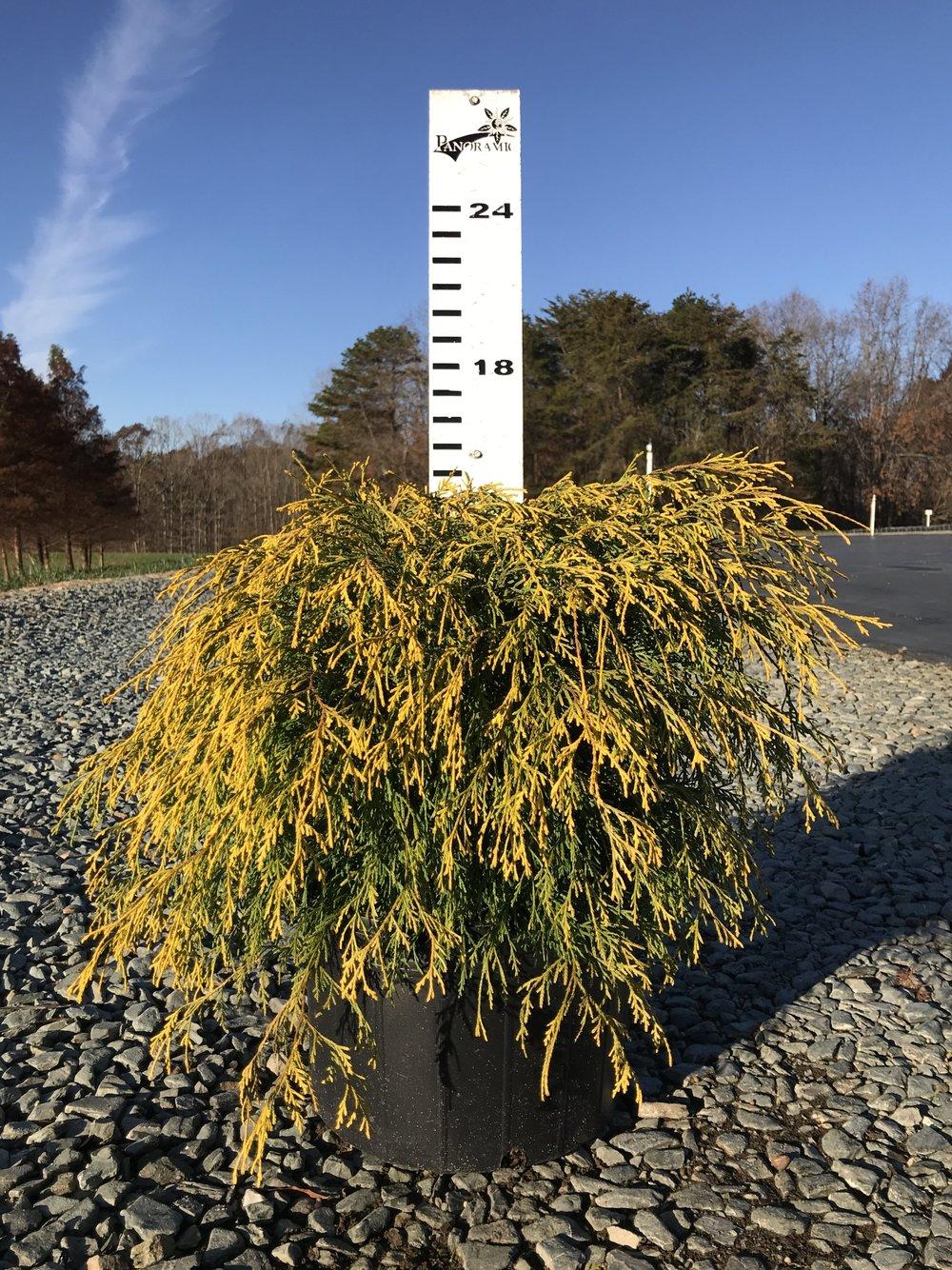 Chamaecyparis pisifera 'Gold Mop' 3g