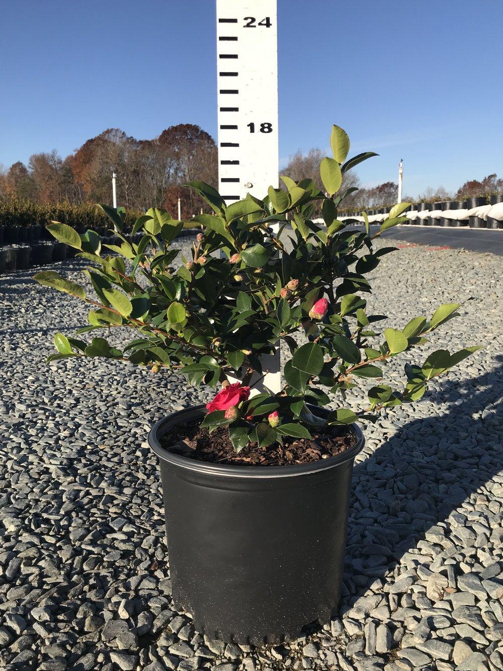 Camellia hiemalis 'Shishigashira' 3g